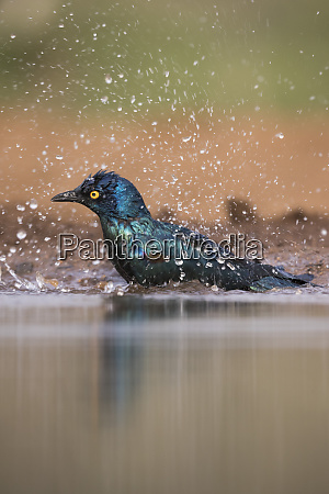 cape glossy starling lamprotornis nitens bathing