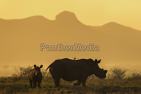 white rhino ceratotherium simum calf and