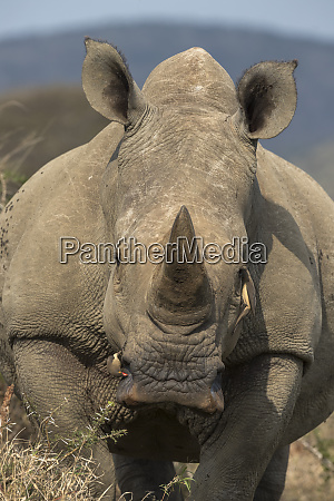 white rhino ceratotherium simum with redbilled