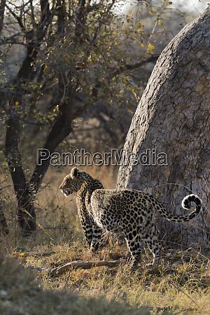 pregnant leopard panthera pardus khwai