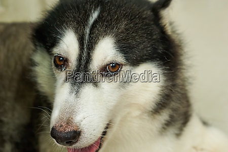 the head of the siberian dog
