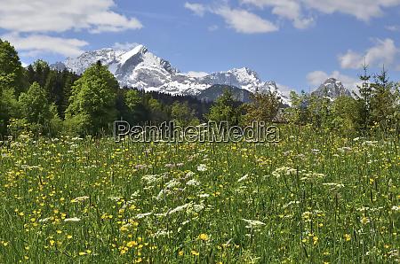 fruehlingswiese bei garmisch partenkirchen