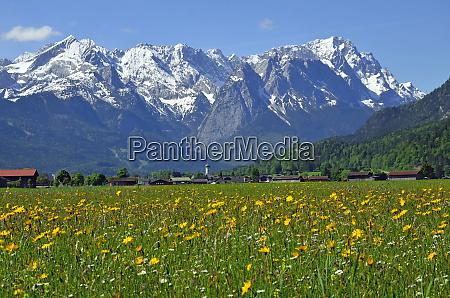 fruehlingswiese vor wettersteingebirge garmisch partenkirchen