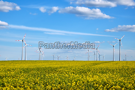 blooming canola field with wind energy