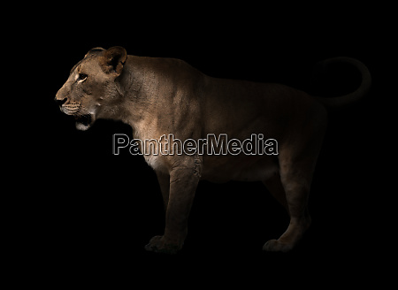 female lion walking in dark background