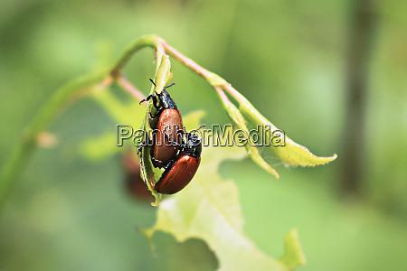 closeup of two aspen leaf beetles