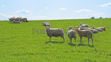 sheep in the pasture in beautiful