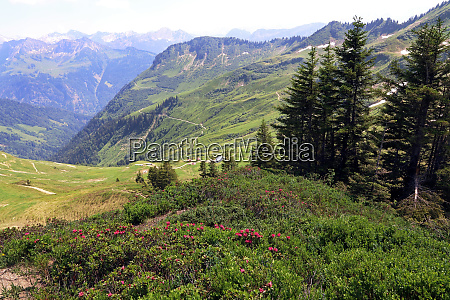 alpine rose flower on the furkajoch