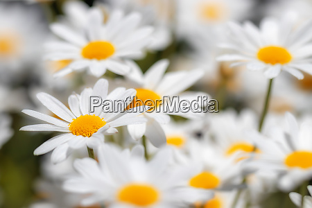 natural meadow with many daisies in