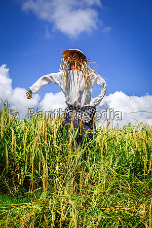 scarecrow in jatiluwih paddy field rice