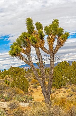 joshua tree in in the desert