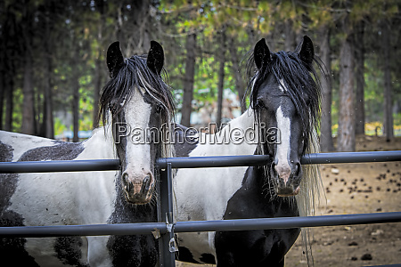 two large draft horses at the