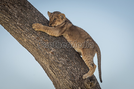 lion cub clings to tree looking