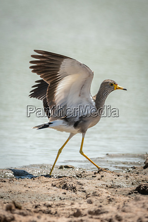 african wattled lapwing lands with wings
