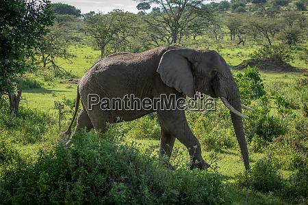 african bush elephant walks past leafy