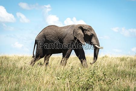 african elephant crosses savannah in bright