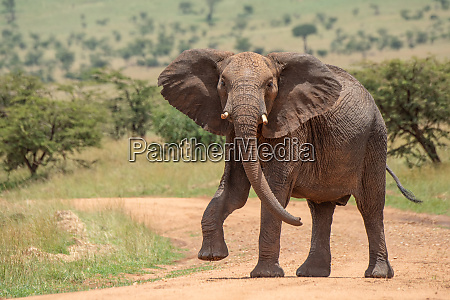 african elephant lifts foot while crossing