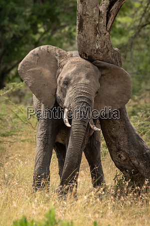 african elephant rubbing its head against