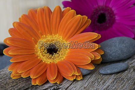 still life with gerbera flowers