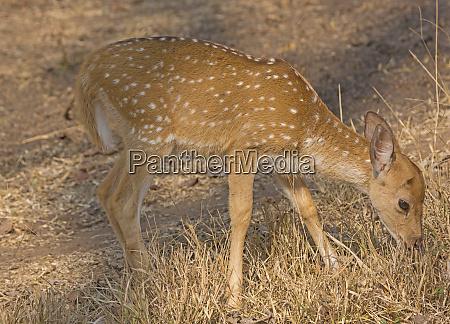baby axis deer grazing in the