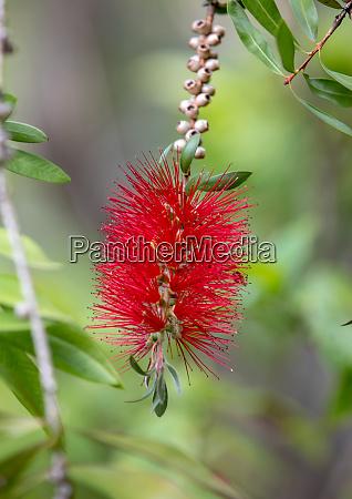 callistemon citrinus bottle brush red flower