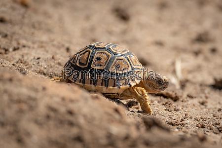 baby leopard tortoise walks down sandy