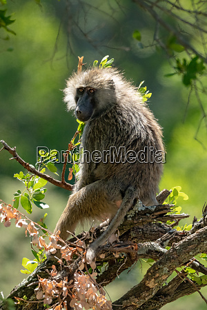 backlit olive baboon sits in tangled