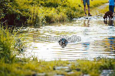 dog swimming though a pond