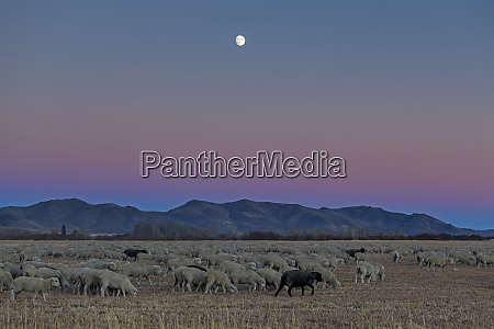 flock of sheep at sunset in