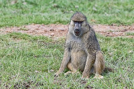 kenya amboseli pavian 2018 4513