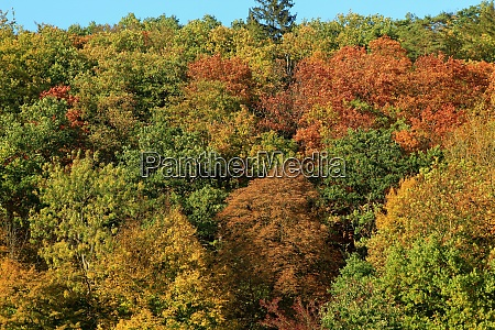 mixed deciduous forest in autumn