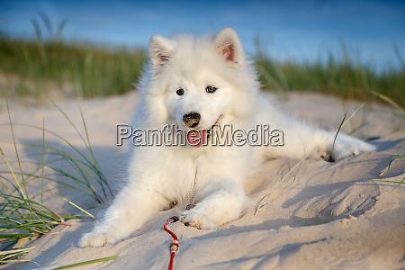 white puppy samoyed husky
