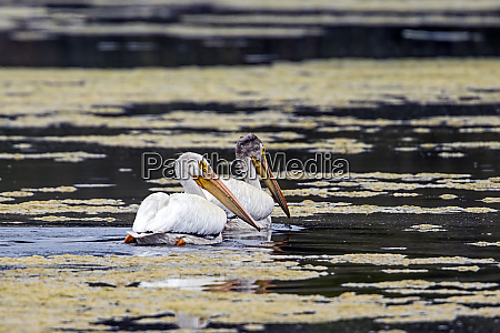 two pelicans swim in the water