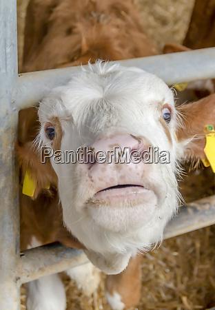suffering calf