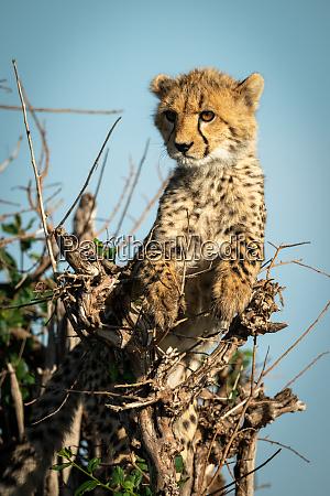 cheetah cub lies in bush staring