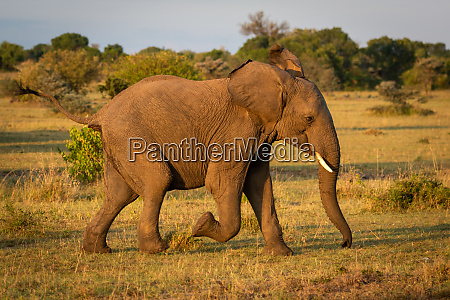 african bush elephant runs across sunlit