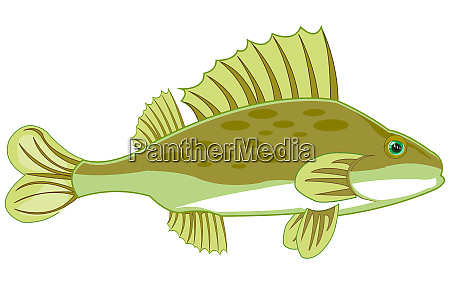 fish ruff on white background is