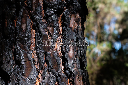 dark charred pine tree bark after