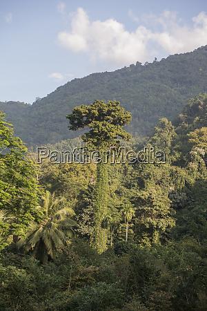 thailand phrae rain forest teak tree