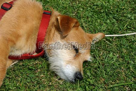 pet terrier dog asleep on grass