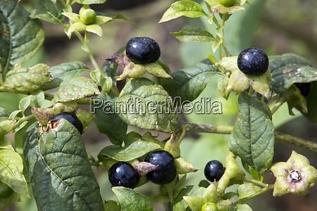 belladonna or deadly nightshade atropa belladonna