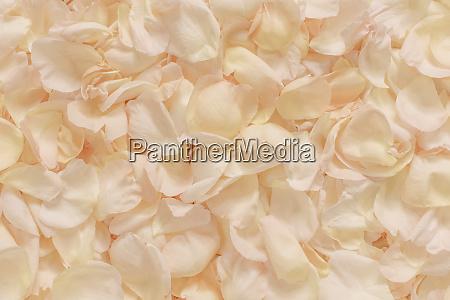 pale pink rose petals scattered full