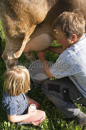 farmer milking a cow on pasture