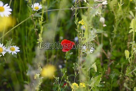 flower meadow with corn poppy