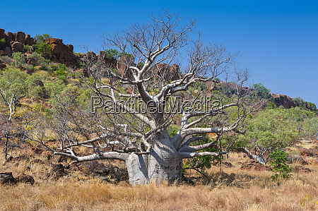 baobab tree in the outback of