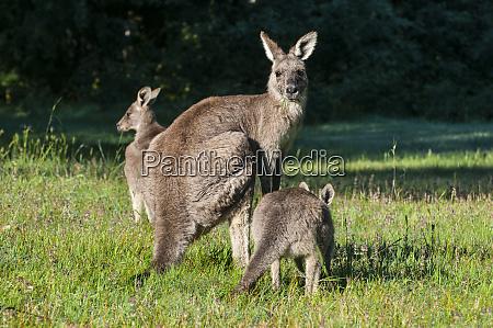 kangaroos in the grampians national park