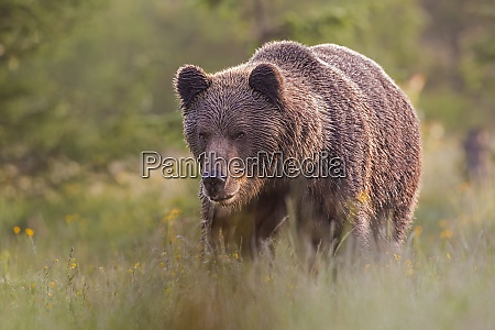 male brown bear standing on the