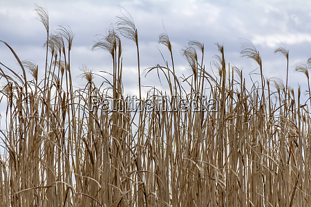 lots of reed fronds