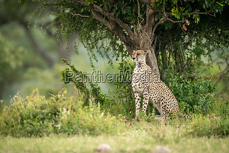cheetah sits under tree staring over