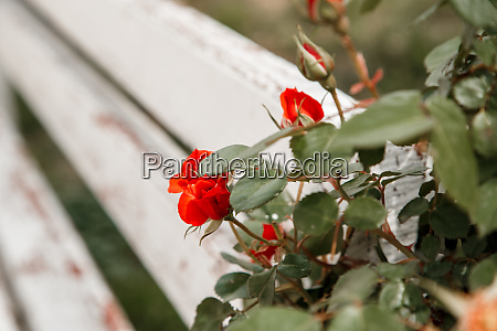 red roses next to a white